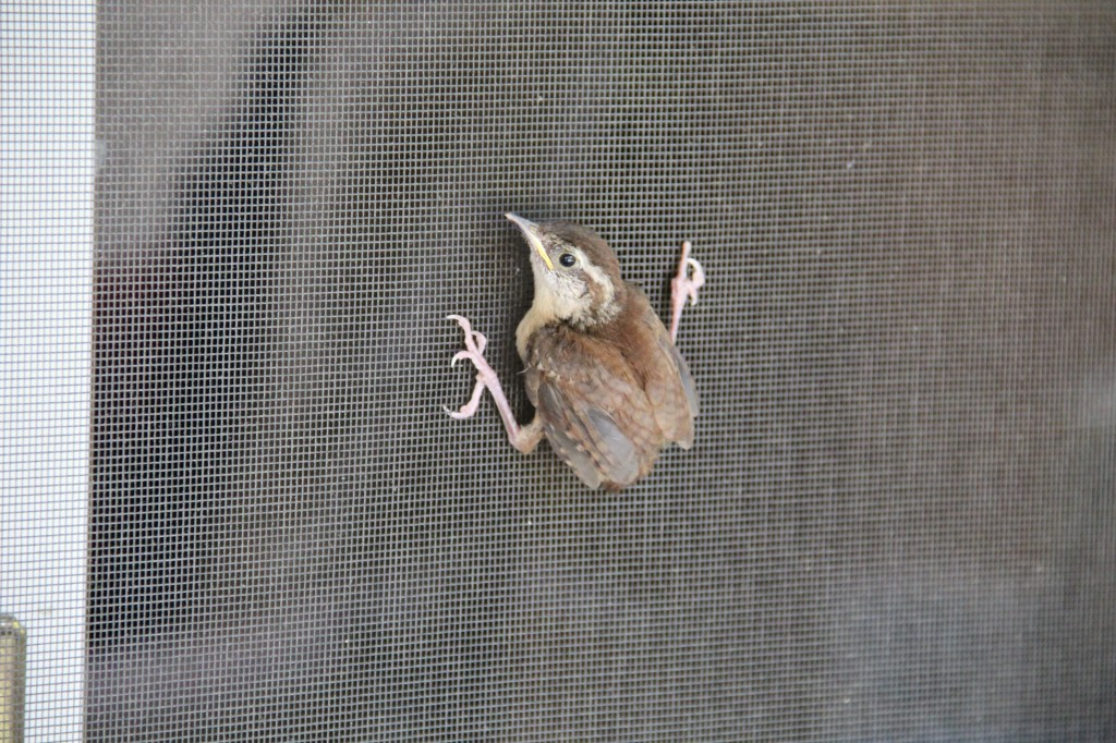 Hope and I noticed a nest of baby birds in a hole in the wall on our back porch.  It flew the coop and we caught its first stop...on our screened door.